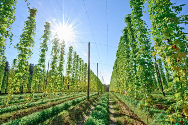 Hops growing tall in a hops field.