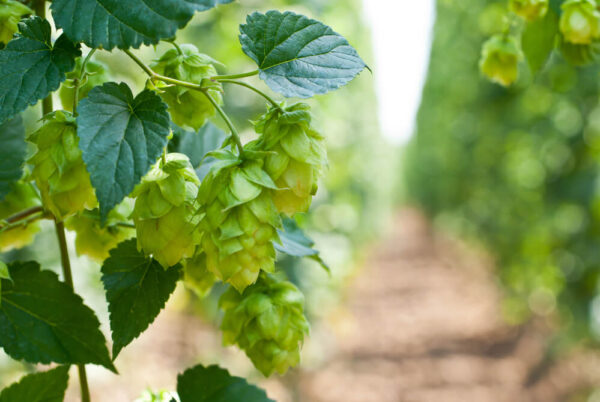 A picture of hops growing. You can see the leaves and the hops distinctly